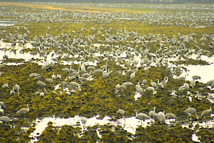 Jasper-Pulaski  (Indiana) Sandhill Cranes