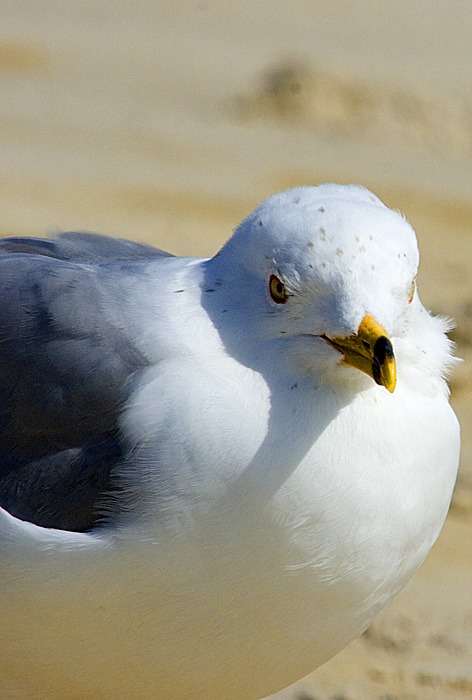 Oak Island Gull
