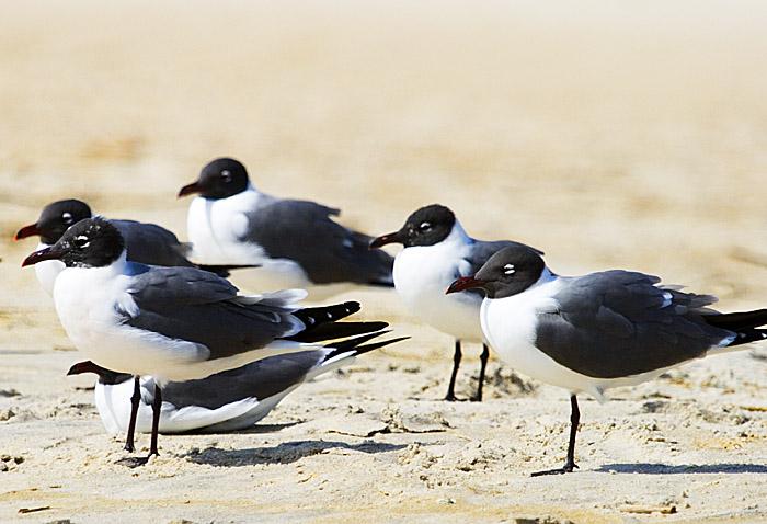 Oak Island Gulls