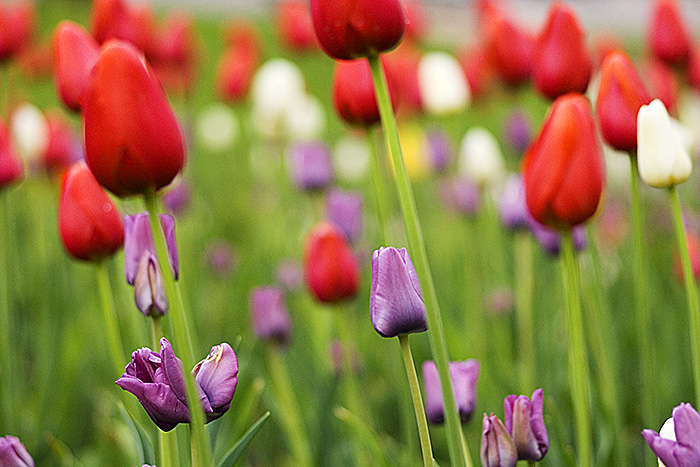 Miami Tulips