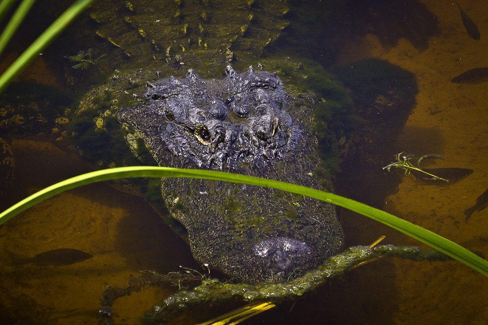 Geocaching in NC - See Maingray\'s Crocodiles! - GC1CQC7